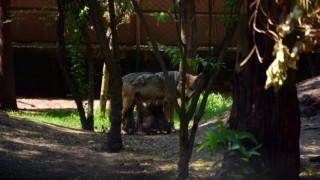Ya tienen nombre los 8 lobeznos del Zoológico Los Coyotes
