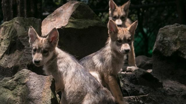 ¡Frenemos la extinción del lobo mexicano! 🐺 (video)