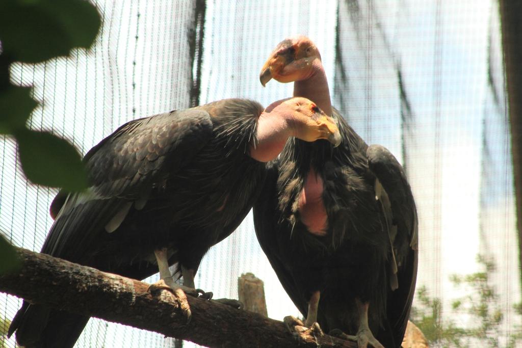 Condor 1.jpg