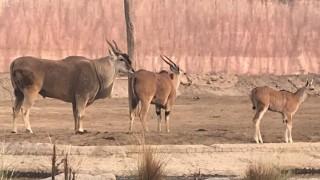 """Informa Sedema sobre el fallecimiento del antílope eland """"Dragón"""""""