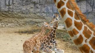 Adelita, la jirafa revolucionaria del Zoológico de Chapultepec